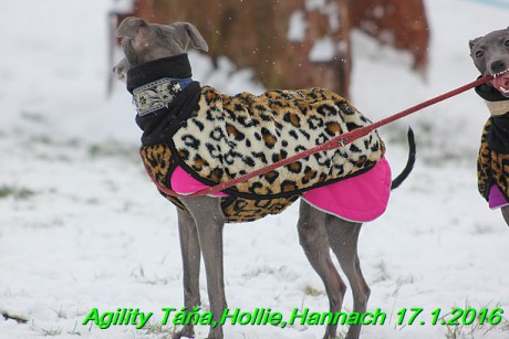 Agility Tana, Hollie,Hannach 17.1.2016 (11)