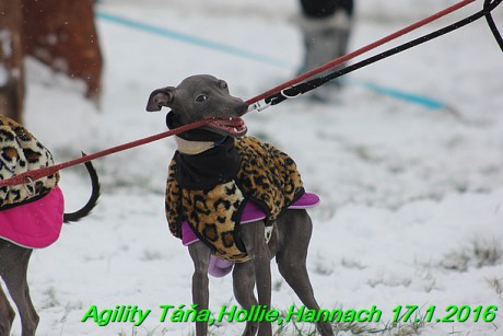 Agility Tana, Hollie,Hannach 17.1.2016 (12)