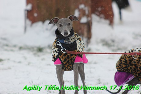 Agility Tana, Hollie,Hannach 17.1.2016 (14)