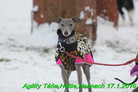 Agility Tana, Hollie,Hannach 17.1.2016 (15)
