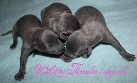 Litter U 2012, females 1 day kopie