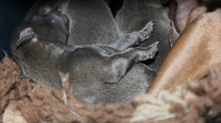 litter-s-2012--2-days-old--8--kopie.jpg