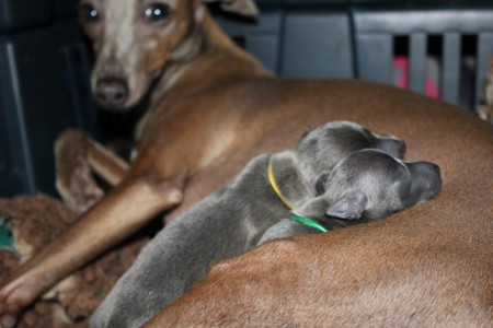 litter-s-2012--2-days-old--15--kopie.jpg